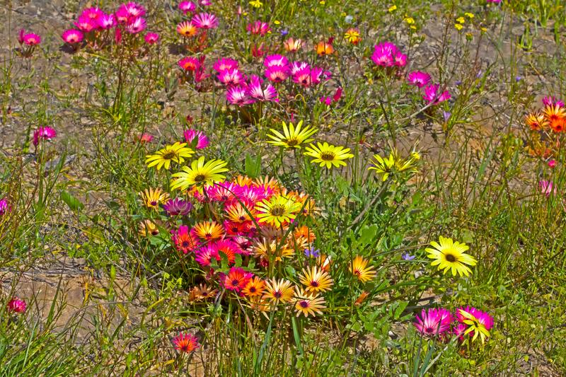 Multicoloured Livingstone  Daisy wildflowers. Purple, red and yellow Livingstone  Daisy wildflowers in Western Cape, South Africa stock photography