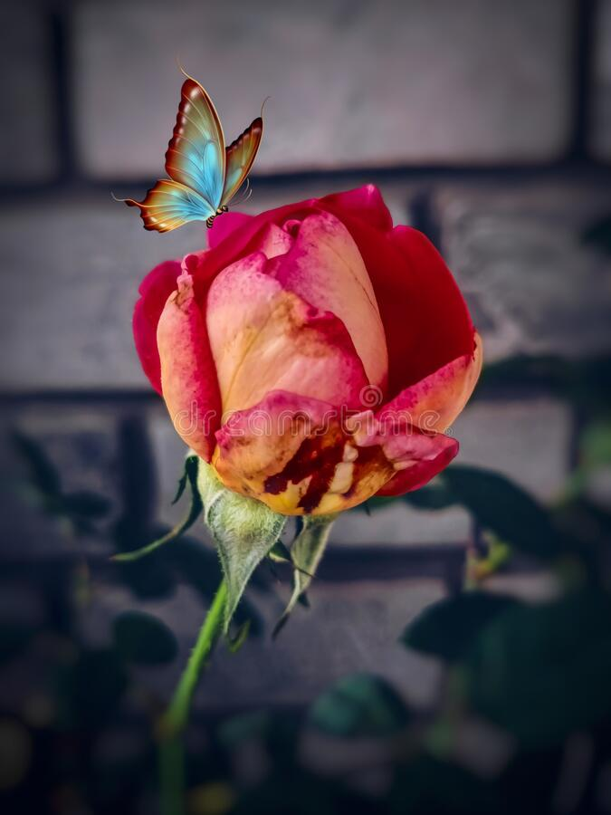 Free MULTICOLOURED ROSE FLOWER BUD BUTTERFLY NATURE GARDEN WALLPAPER BACKGROUND ABSTRACT Stock Photos - 179960753