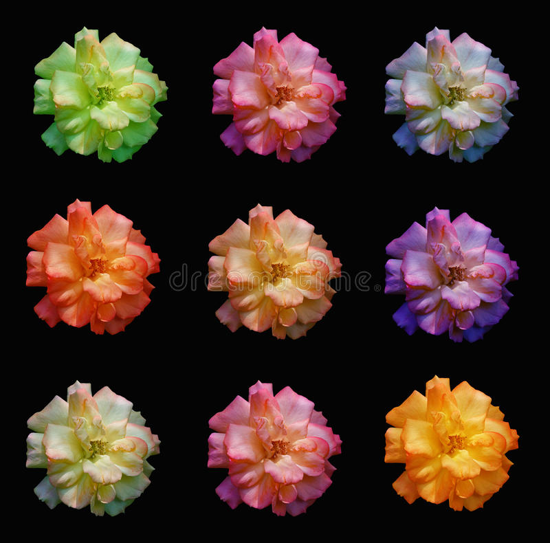 Multicoloured roses. On a black background stock image