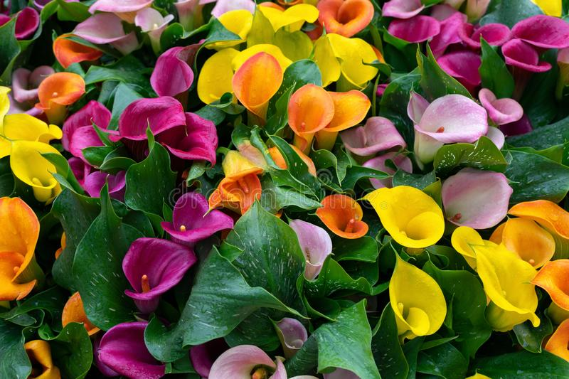 Multicoloured yellow, pink orange, purple calla flowers as background.  royalty free stock images