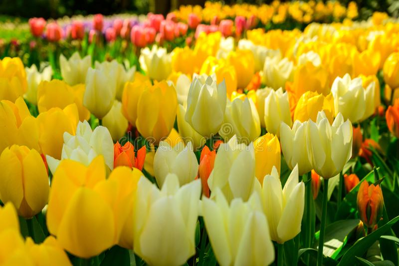 Multicolours flowers field close up in Holland , spring time flowers in Keukenhof stock images