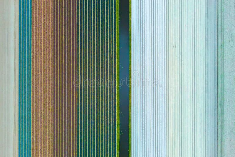 Multicolours kwiatów pola widok z lotu ptaka od trutnia w Holandia, wiosna czas kwitnie w Keukenhof obraz royalty free