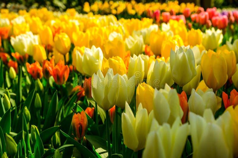 Multicolours kwiat?w pole zamkni?ty w g?r? Holandia w, wiosna czas kwitnie w Keukenhof obrazy stock