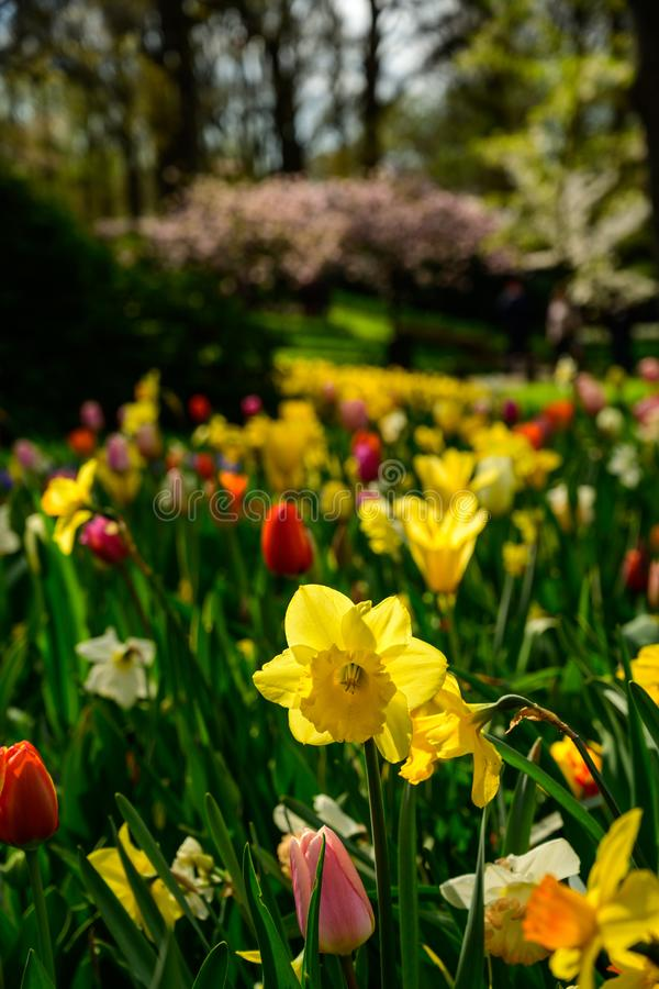 Multicolours kwiat?w pole zamkni?ty w g?r? Holandia w, wiosna czas kwitnie w Keukenhof zdjęcie royalty free