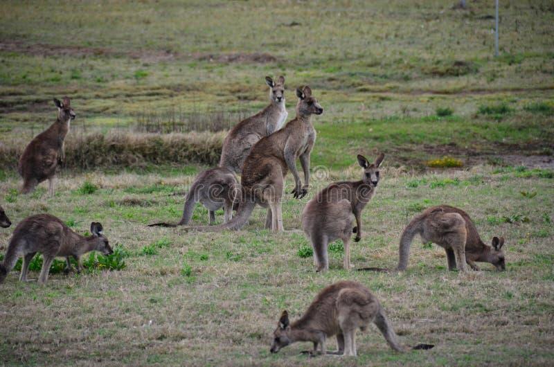 Multidão Austrália do canguru fotos de stock