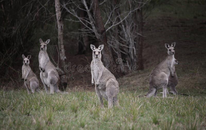 Multidão de cangurus no bushland foto de stock