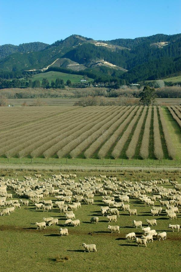 Multidão de carneiros foto de stock royalty free
