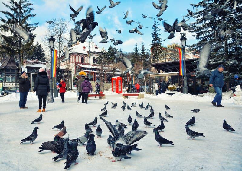 Multidão de pombos nas ruas da cidade de Sinaia imagem de stock royalty free