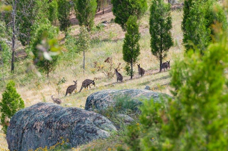 Multidão do canguru em um selvagem imagens de stock royalty free