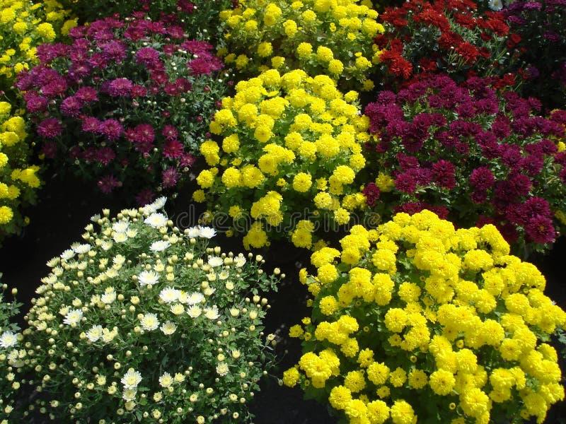 Multiflora do crisântemo foto de stock royalty free