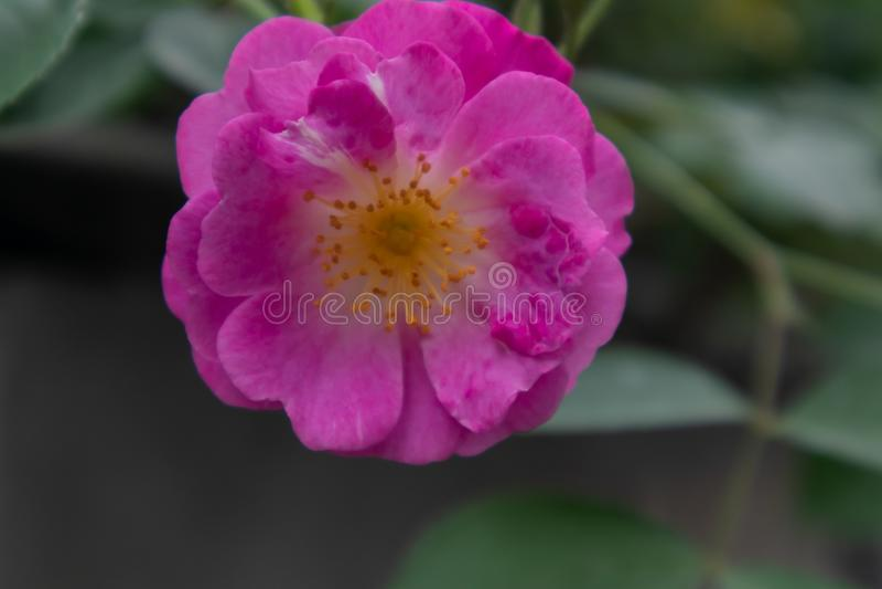 Multiflora Thunb de Rosa var carnea Thory photos libres de droits