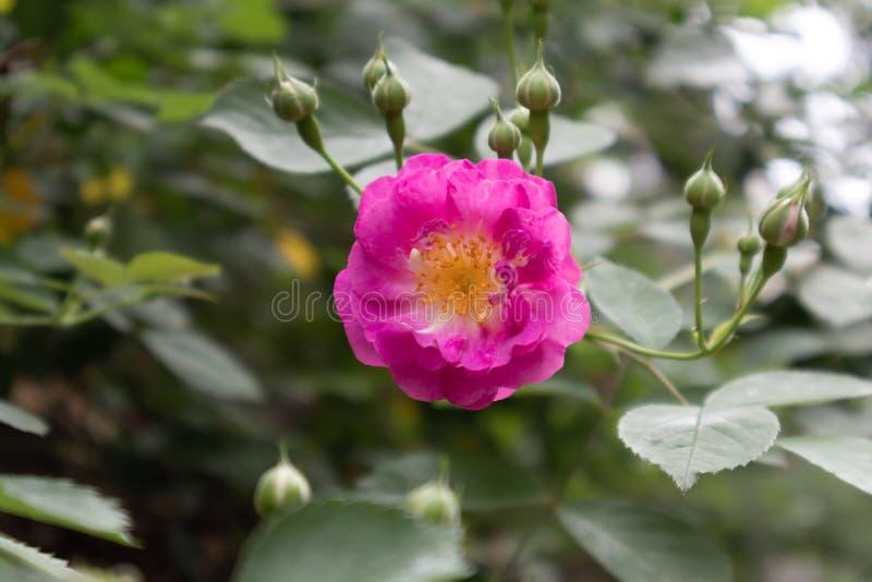 Multiflora Thunb de Rosa var carnea Thory images stock