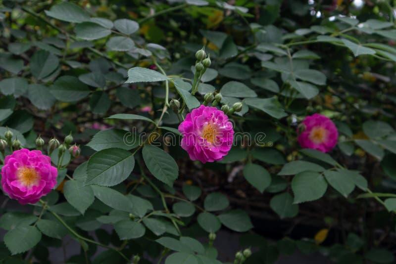 Multiflora Thunb de Rosa var carnea Thory photographie stock libre de droits