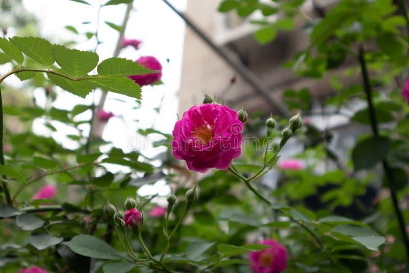 Multiflora Thunb de Rosa var carnea Thory photos stock