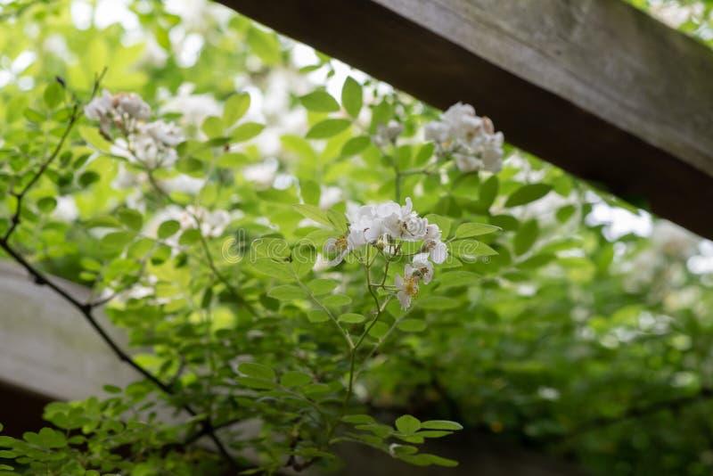 Multiflora Thunb-Rosa Jacq chinensis de Rosa photos libres de droits