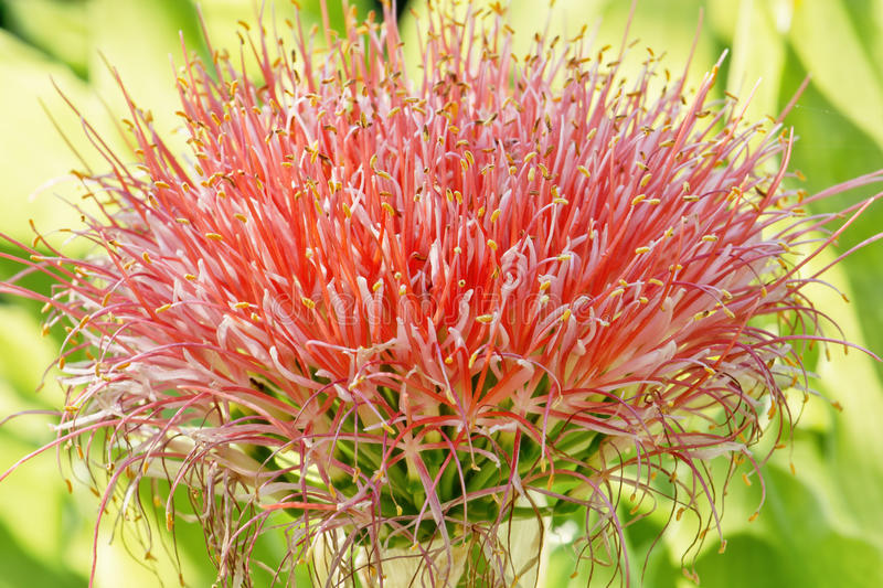 Multiflorus de Haemanthus images stock