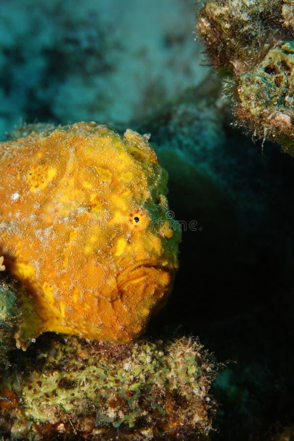 multiocellatus longlure antennarius frogfish στοκ εικόνες