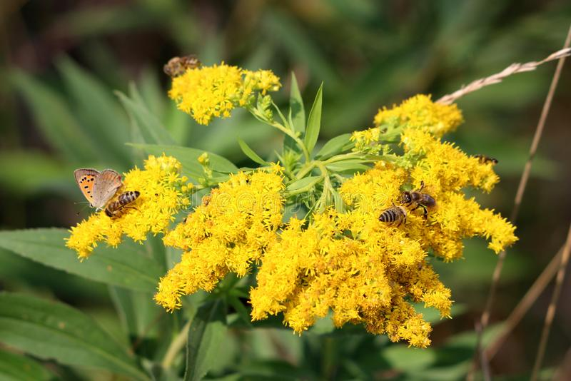 Multiple bees and small butterfly on top of dense bright yellow field flowers surrounded with green leaves and other plants in. Background on warm sunny day stock image