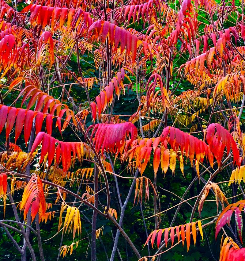 Multiple branches of sumac royalty free stock photography