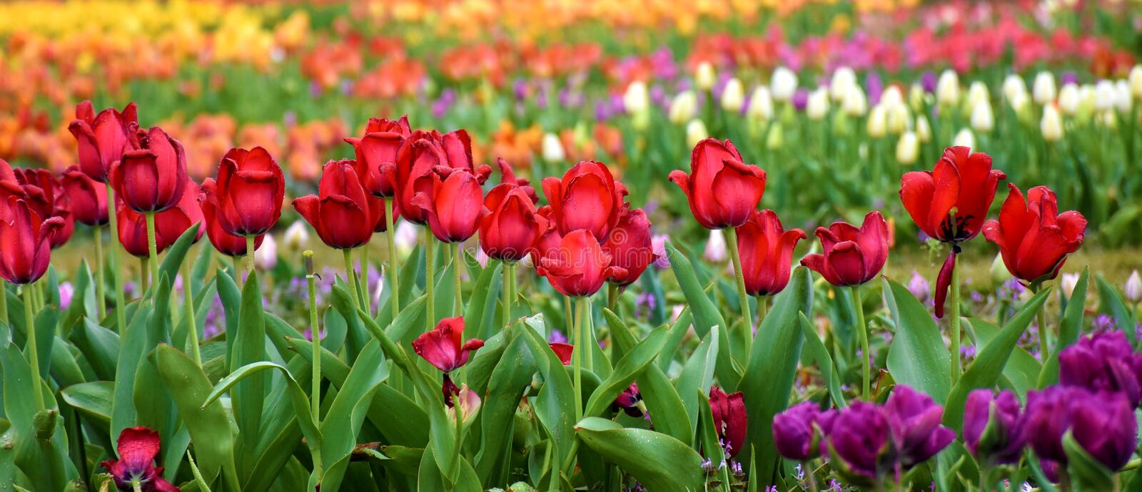 Multiple colored tulip garden royalty free stock photography