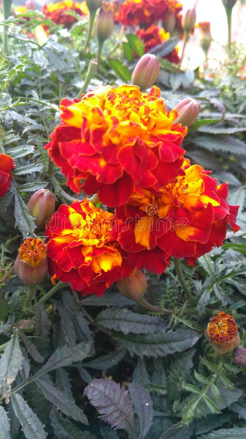 Multiple colour flower. Red and yellow multiple layered centre of focus fill the frame royalty free stock image