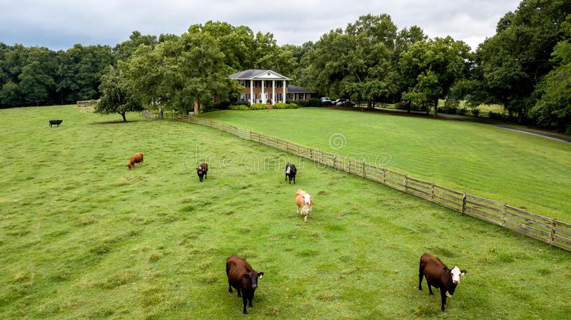 Cows grazing in field with elegant country estate in background. Multiple Cows grazing in field with elegant country estate in background royalty free stock photo
