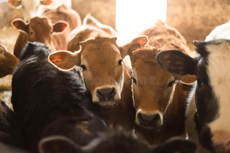 Multiple cows in stable stock photography