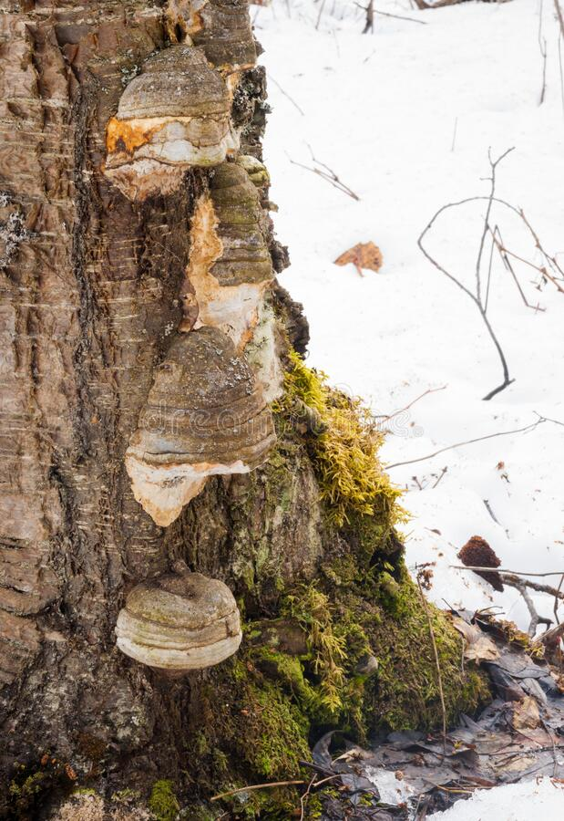 Fruiting Bodies of a Bracket Fungus on Birch. Multiple fruiting bodies of a bracket mushroom most likely of Inonotus obliquus or chaga growing on a birch tree royalty free stock images