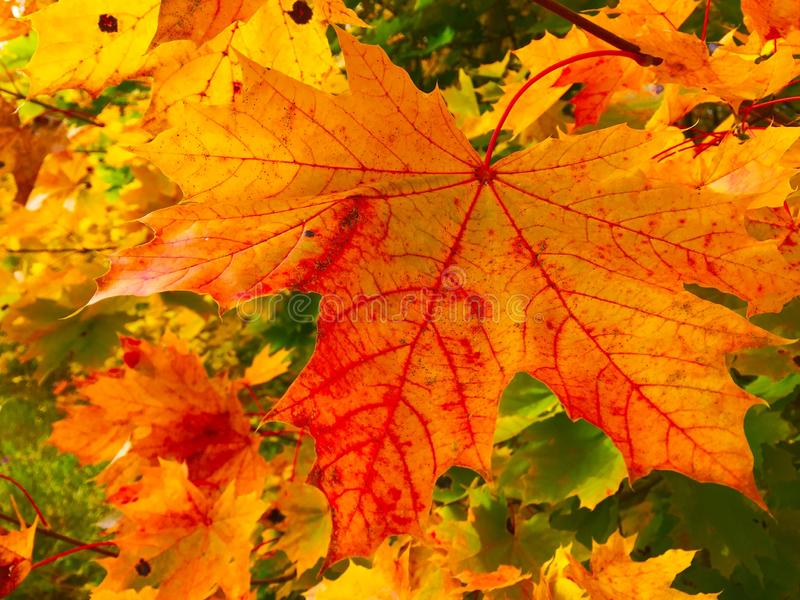 Multiple maple leaves with one specific stock photography