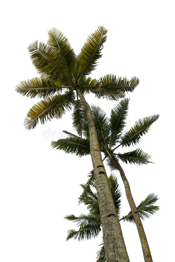 Multiple Palm Trees Isolated stock image