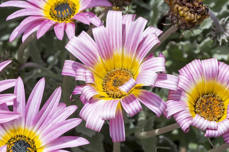 Multiple Pink Arctotis `Louise`. Light pink and white striped Arctotis `Louise` flowering heads growing in a natural garden setting with its natural silver stock images