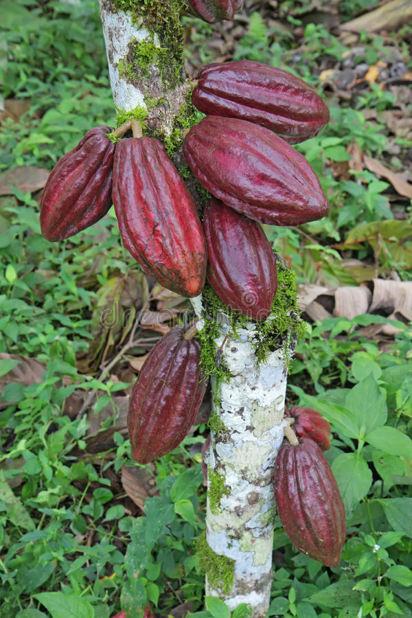 Multiple pods of Arriba cacao royalty free stock image