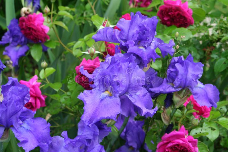 Purple iris and scarlet rose plants blooming in a natural spring garden. Multiple purple irises and scarlet William Shakespeare English roses harmonize in a stock images
