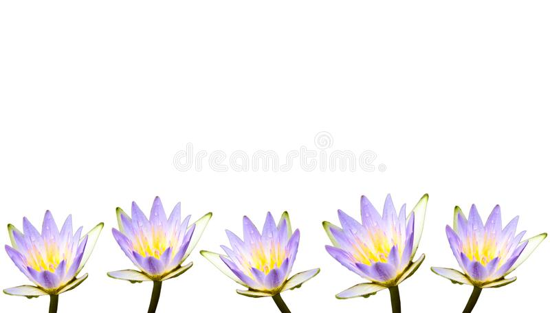 Multiple purple lotus flowers or water lilies covered by water droplets. After the rain and isolated on a seamless white background as a border frame stock image