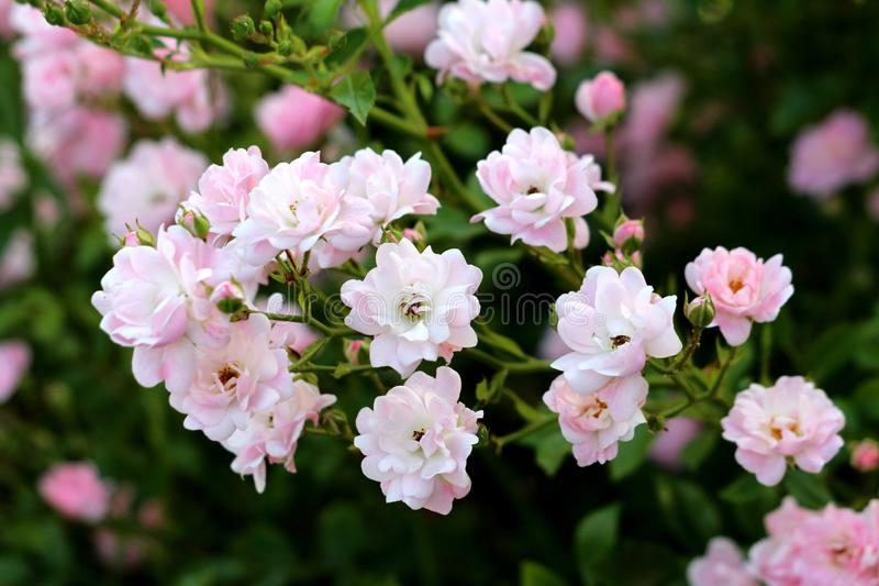 Multiple small densely planted fully open blooming light pink roses growing in local garden surrounded with leaves and rose buds. On warm sunny spring day stock photos