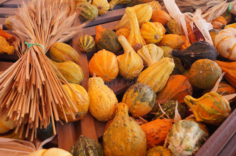 Multiple squash with wheat for fall 2015 stock photos