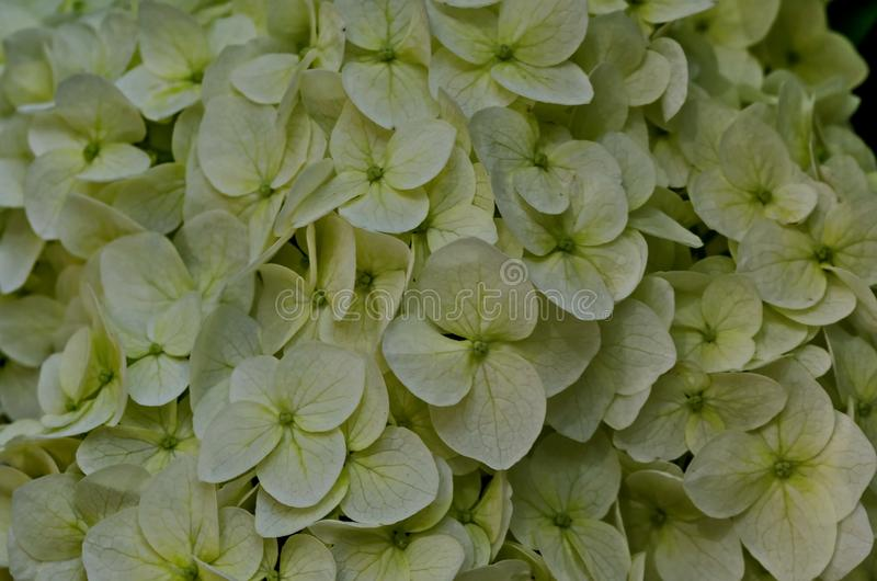 Multiple white hydrangea plant or hortensia flower with bloom close up in the garden royalty free stock photography