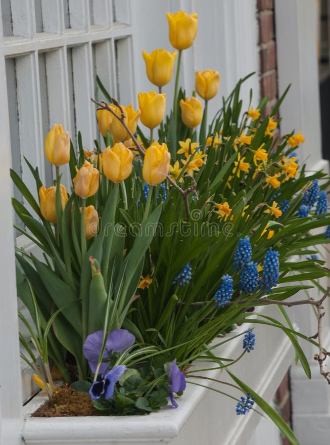 Multiple yellow tulips In white windowbox stock images