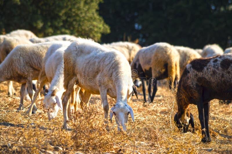 Multitud con las ovejas que pastan, Grecia foto de archivo