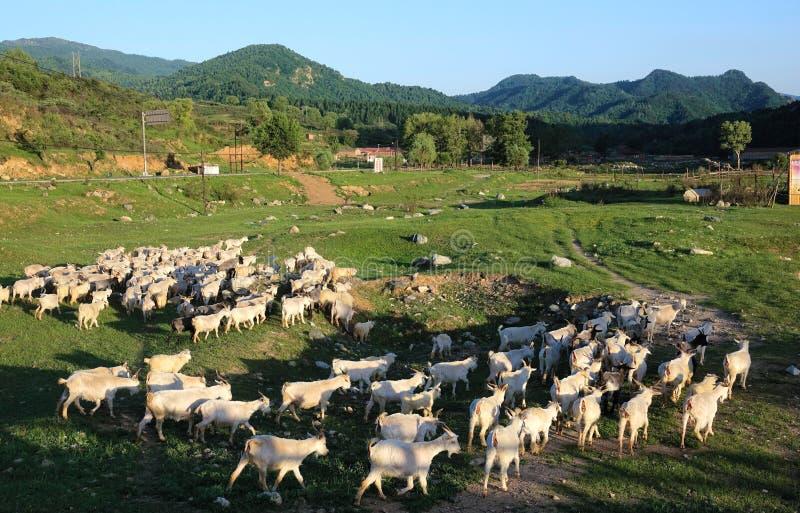 Multitud de cabras foto de archivo
