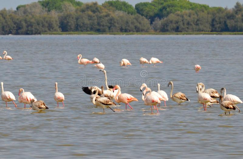 Multitud de flamencos rosados fotos de archivo
