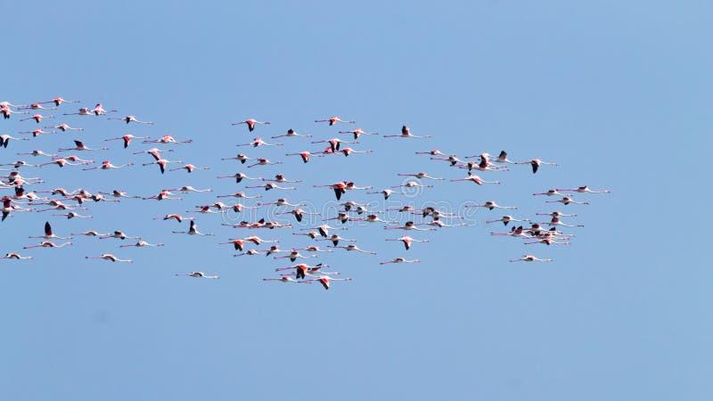 Multitud de flamencos rosados Laguna del río Po fotos de archivo