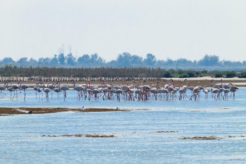 Multitud de flamencos rosados Laguna del río Po fotos de archivo libres de regalías