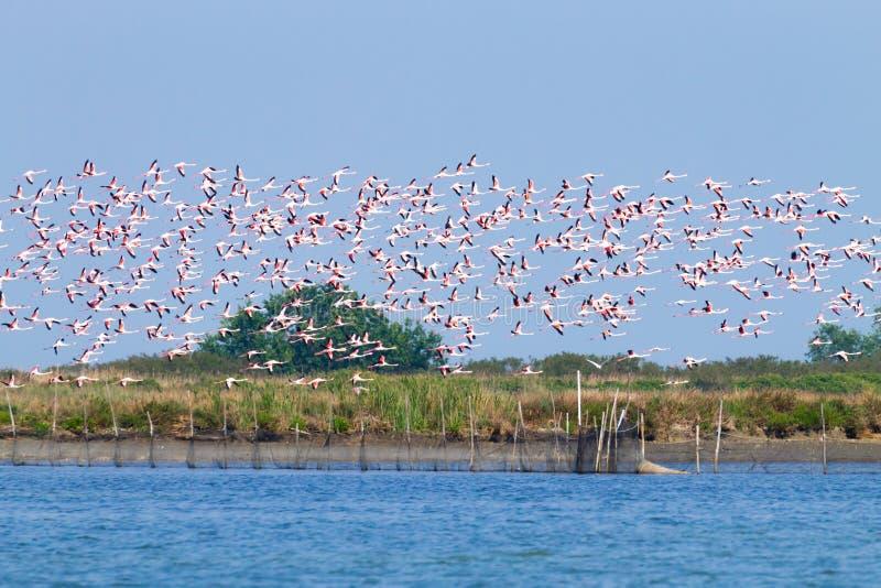 Multitud de flamencos rosados Laguna del río Po fotografía de archivo libre de regalías