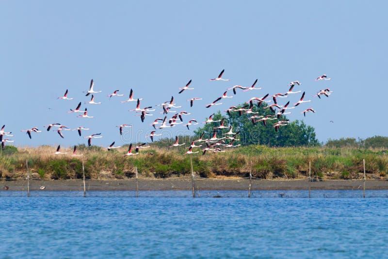 Multitud de flamencos rosados Laguna del río Po foto de archivo libre de regalías