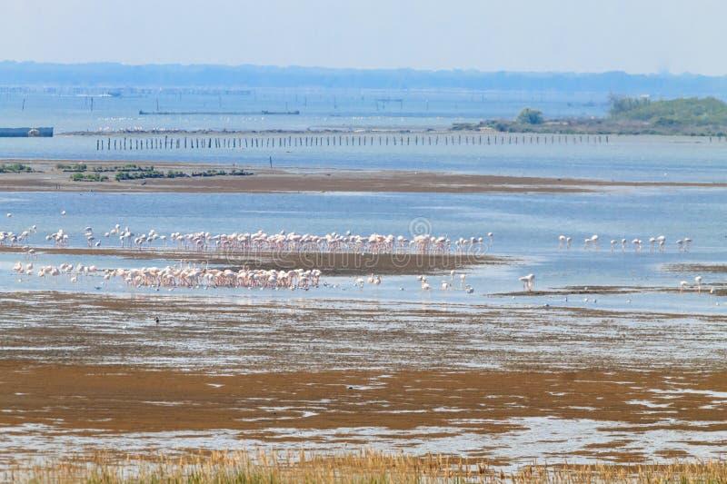 Multitud de flamencos rosados Laguna del río Po foto de archivo