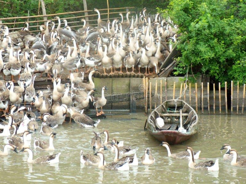 Multitud de gansos en una pluma imagen de archivo libre de regalías