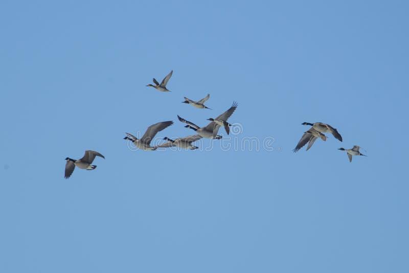 Multitud de gansos y de patos rojizos septentrionales fotos de archivo libres de regalías