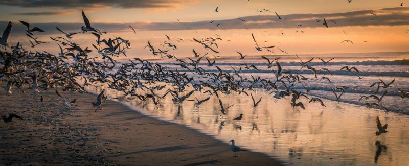 Multitud de gaviotas en la playa en la puesta del sol imagen de archivo