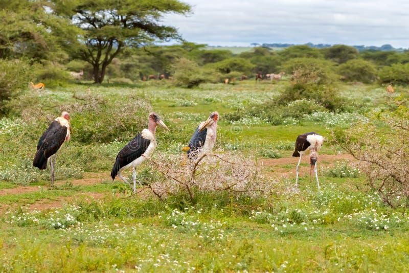 Multitud de la situación calva del pájaro de la cigüeña de marabú en prado en el parque nacional de Serengeti en Tanzania, África imagen de archivo libre de regalías